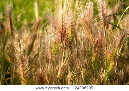 Barley grass or wall barley (Hordeum murinum). Close up. ** Note: Soft Focus at 100%, best at smaller sizes