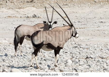 Pair Of Gemsbok (oryx)
