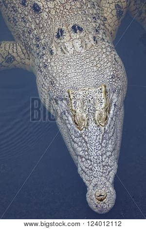 this crocodile is not an albino just lighter skin