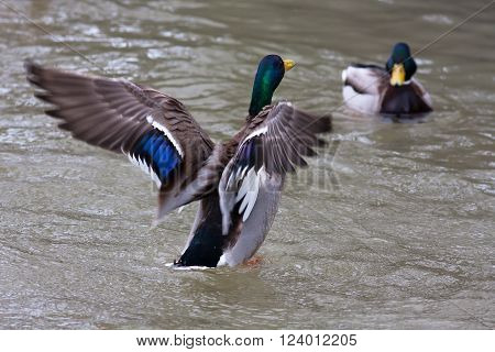 two drakes of mallard (Anas platyrhynchos) on the water