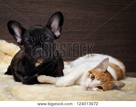 Friendship of cat and dog. Kitten white with red. Dog French Bulldog puppy. The dog is black. Relationship dog and cat.