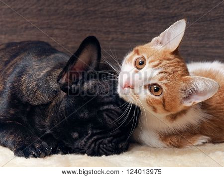 Cat and dog sleeping together. Kitten white with red. The dog french bulldog puppy. Black Dog. Relationship dog and cat.