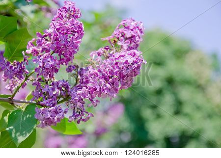 Beautiful sunlit pink lilac flowers shallow DOF (with copy space on the right for your text)