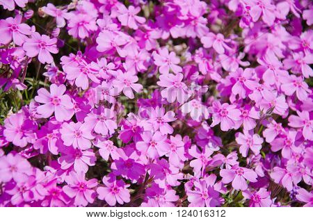 Sunlit pink flowers as a beautiful floral background (shallow DOF selective focus)