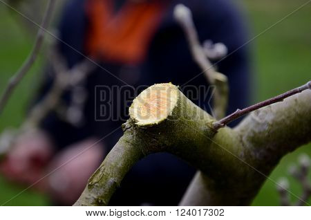 picture of a pruned apple twigs in spring