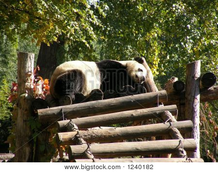 Giant Panda In Beijing