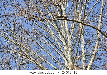Closeup of the treetop of a birch in sunny day