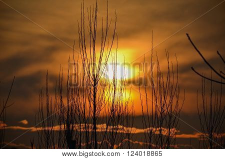 Silhouette of thin twigs and gloomy golden sunset