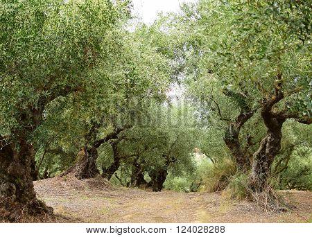 Old olive trees in Zakynthos island Greece