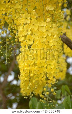 Golden shower flower in garden (Cassia fistula)