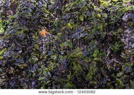 Starfish In Seaweed