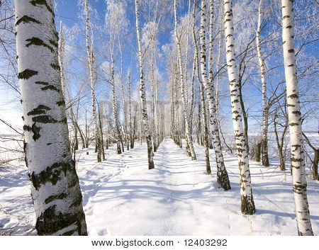 Frozen birch alley at winter
