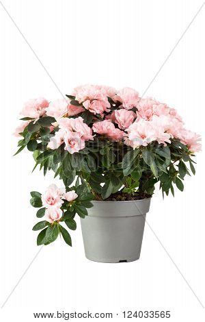 Pink azalea in a flowerpot isolated on a white background