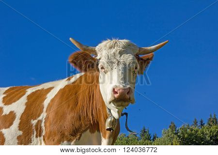 bavarian milker outdoor brown and white brindled blue sky