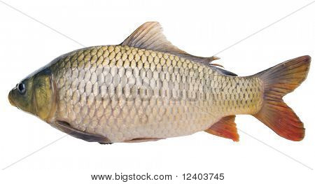 big fat carp  isolated on white background
