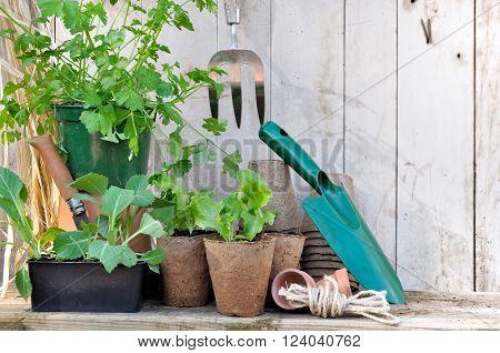 lettuce and cabbage seedlings in peat pots on wooden garden worktop