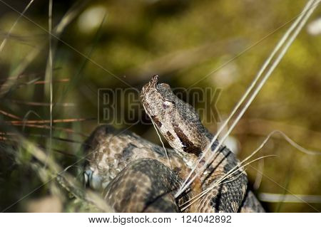 Head of snake viper in brushwood in Balkan mountain, Bulgaria