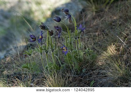 Pulsatilla vulgaris flowers at spring in mountain Balkan, Bulgaria