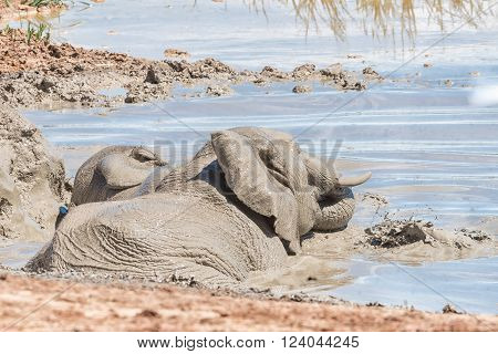 Two elephants Loxodonta africana playing in a waterhole** Note: Visible grain at 100%, best at smaller sizes