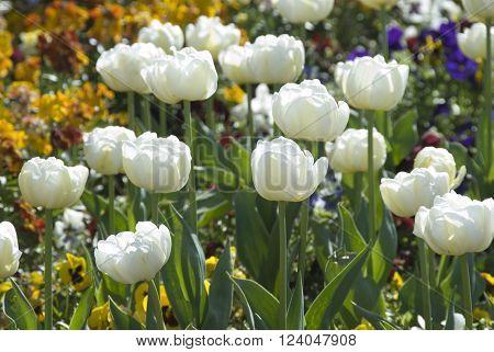 White tulip flowers in bloom, Cleethorpes, UK