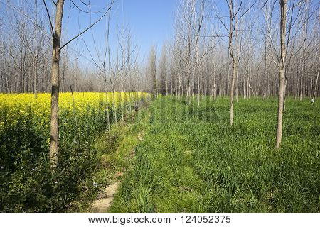 beautiful punjabi countryside with bare poplar trees amongst mustard and wheat crops under a blue sky in springtime