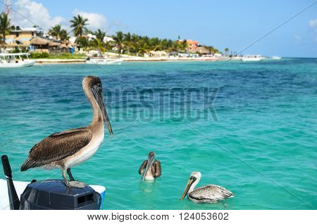 Brown pelicans in Caribbean sea next to the tropical paradise coast