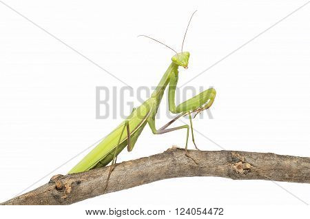 Green mantis on a twig (isolated on white)