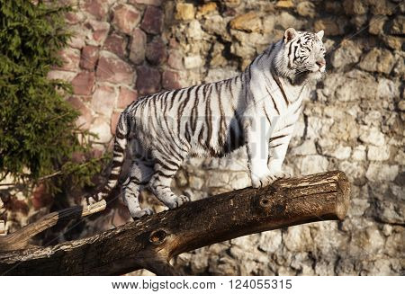 White tiger standing on a log over a gap