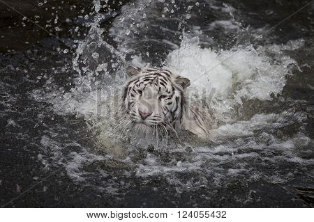 White tiger swimming in the river (in motion)