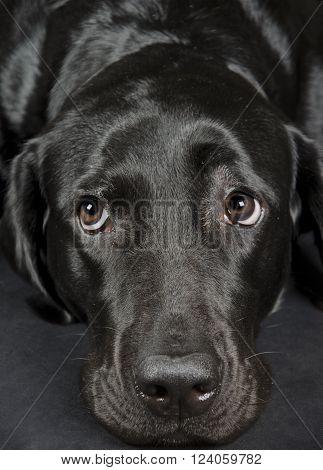 Portrait of a sad Labrador Retriever (selective focus on the eyes)