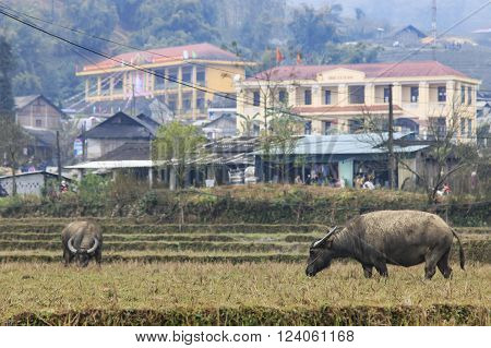 Water buffalos in the mountains of Sapa Vietnam