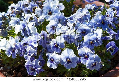 Blue flowers in the garden Latin name Viola tricolor
