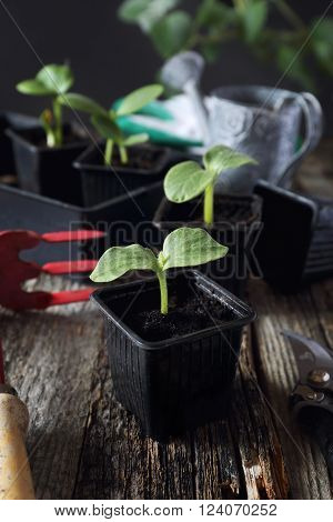 Cultivation of Young seedlings transplanting at home