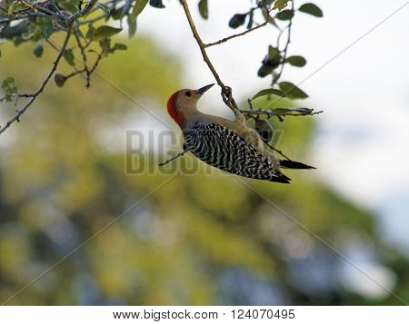 Red-bellied Woodpecker hanging from branch of oak tree