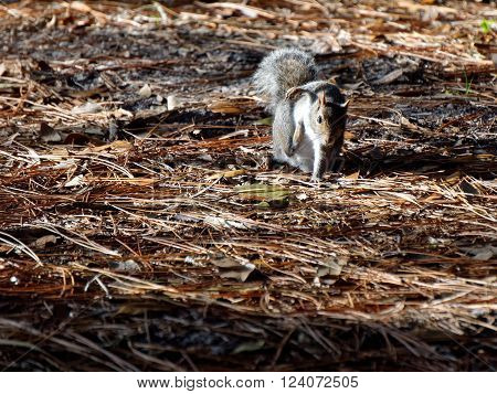 Eastern Gray Squirrel scratching an itch with it's rear paw on ground covered by pine needles