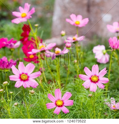 Close up pink color cosmos flower on green background