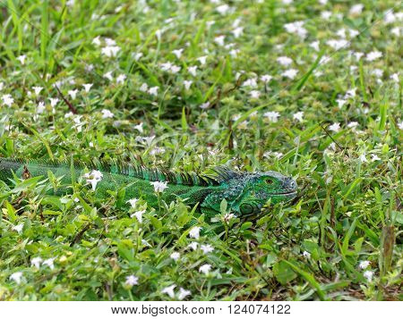 Baby Green Iguana in grass surrounded by wildflowers