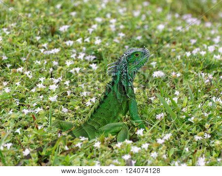 Alert baby Green Iguana sitting up in grass surrounded by wildflowers