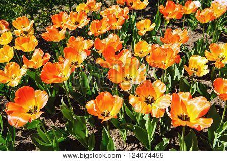 Beautiful orange tulips in the garden sort daydream
