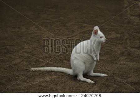 this is a close up of an albino wallaby