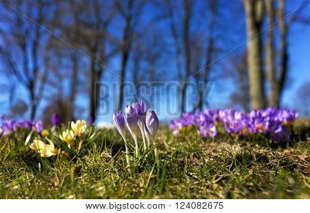 Purple crocuses on bright spring day with trees and blue sky in background
