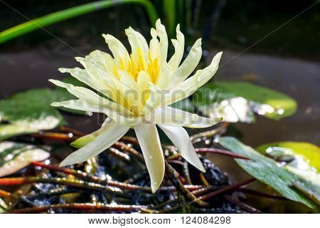 Yellow lilies in the bloom with a little water until roots