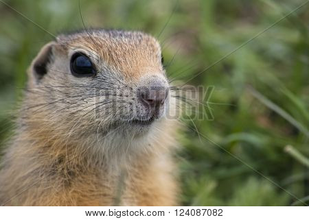 The snoot of young ground squirrel clouseup.