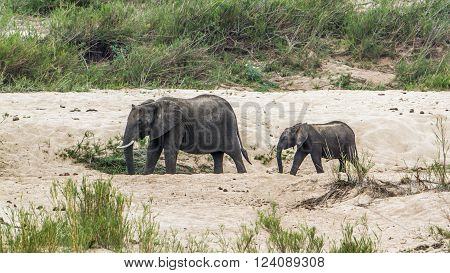 Specie Loxodonta africana family of Elephantidae, african bush elephant in the riverbank, mother and baby
