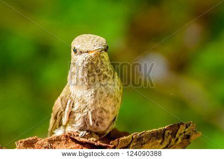 Hummingbird resting on a piece of wood.