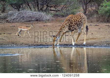 Specie Giraffa camelopardalis family of Giraffidae, giraffe drinking at the riverbank and impala in Kruger park, South Africa