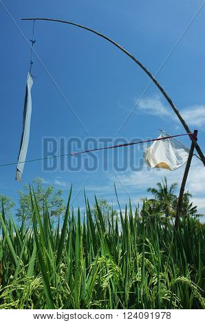 Metal sheeting and an old flag are recycled for use as bird-scarers over a ripening rice field in Ubud Bali Indonesia.