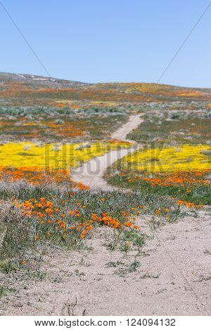 Early spring flowers blooming along the walking trail of the Antelope Valley Poppy Preserve in California