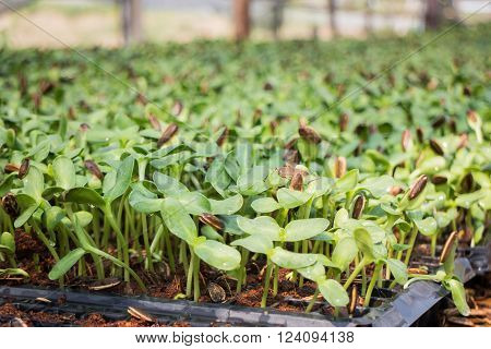 Organic green young sunflower sprouts, stock photo