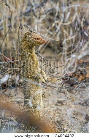 specie Galerella sanguinea family of Herpestidae, slender mongoose standing in the bush